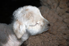 Lamb sleeping in sunbeam on mother Royalty Free Stock Photography