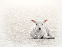 Lamb in Snow Royalty Free Stock Images