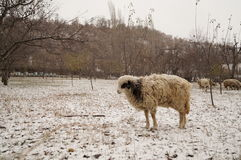 Lamb snow Royalty Free Stock Photography