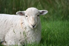 Lamb in Snowdonia National Park Royalty Free Stock Photography