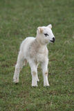 Lamb in Spring Stock Images