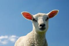 Lamb in spring Royalty Free Stock Photos
