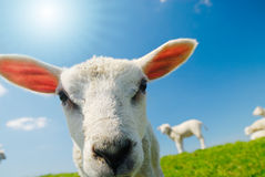 Lamb in spring Stock Photo
