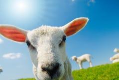 Lamb in spring Stock Photo