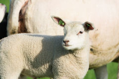 Lamb in spring Royalty Free Stock Photography
