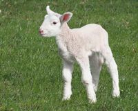 Lamb Standing Stock Photo
