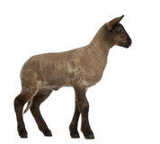 Lamb standing Royalty Free Stock Photo