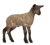 Lamb standing Royalty Free Stock Image