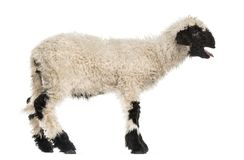 Lamb standing and baaing in front of white. Background stock photos