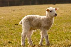 Lamb standing in field Stock Photos