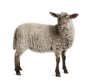 Lamb, standing in front of white background Royalty Free Stock Images