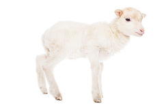 Lamb standing Royalty Free Stock Images