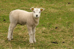 Lamb standing on grass Stock Photography