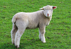 Lamb standing on a grassy meadow Stock Images