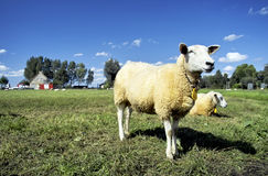Lamb standing in a green field waiting Royalty Free Stock Photos