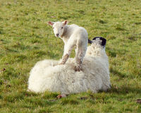 Lamb standing on his mother`s back. Landscape image of a lamb standing on the ewe`s back while she rests in a field. Lamb is looking at the camera Stock Photo