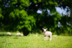 Lamb Standing Near Oak Tree stock photography