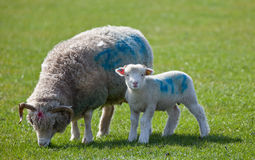 Lamb starring at camera with mother Royalty Free Stock Image