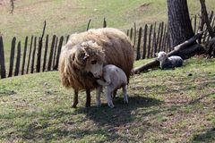 Lamb suck sheep. View of Lamb suck sheep Royalty Free Stock Images
