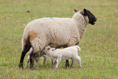 Lamb suckling from ewe sheep. Newborn lamb suckling from eve sheep in green field Stock Images