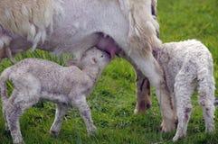 Lamb suckling Stock Photos