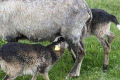 Lamb suckling Royalty Free Stock Photos