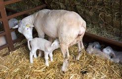 Free Lamb Suckling Sheep Royalty Free Stock Image - 117291426