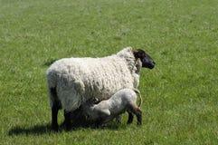 Lamb Suckling. Spring lamb suckling fom its mother Stock Image