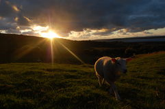 A lamb and a Sunet royalty free stock photo
