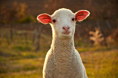 Lamb in the sunset Stock Photo