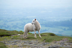 Lamb on top of a mountain. Lamb standing on top of Sugarloaf Mountain,Wales Stock Image