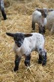 lamb trochę Obrazy Royalty Free