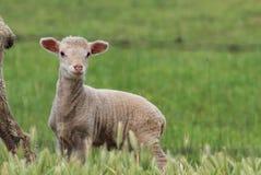 lamb trochę Obraz Royalty Free