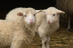 Lamb twins Royalty Free Stock Photos