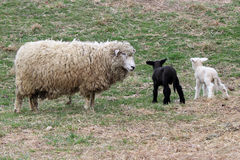 Lamb Twins Royalty Free Stock Photography
