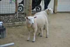 Lamb. Two cute lamb at Dublin zoo stock photography