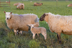 A Lamb and Two Ewes. This little lamb stands between two large ewes in a green pasture. They are bathed in golden evening light Royalty Free Stock Photos