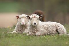 Lamb. Two Lamb lying in the grass stock photos