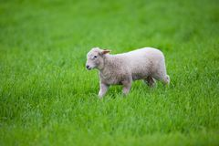 Lamb walking in the Grass Royalty Free Stock Images