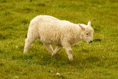 Lamb walking on a meadow. Near Foel Eryr, Clynderwen, Pembrokeshire, Dyfed, Wales, UK Royalty Free Stock Images