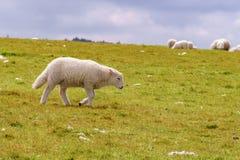 Lamb walking on a meadow. Near Foel Eryr, Clynderwen, Pembrokeshire, Dyfed, Wales, UK Royalty Free Stock Photo