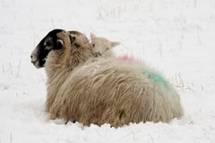 Lamb Warming Itself On Mother In The Snow Stock Photos