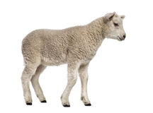 Lamb (8 weeks old). Isolated on white Royalty Free Stock Photography