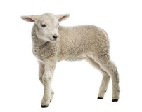 Lamb (8 weeks old) stock photography