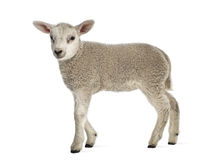Lamb (8 weeks old) Stock Images
