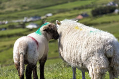 Lamb whispering in mums ear Royalty Free Stock Images