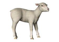 Lamb on White Stock Image
