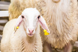 A lamb Royalty Free Stock Photos