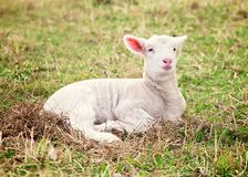 Lamb Stock Photos