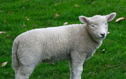 Lamb winking Stock Photos